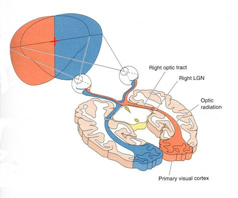 Peripheral vision and visual pathways pathways to primary visual cortex ccuart Images